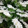 Viburnum plicatum mariessii Inspired Garden Design